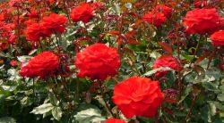jakie róże posadzić w ogrodzie